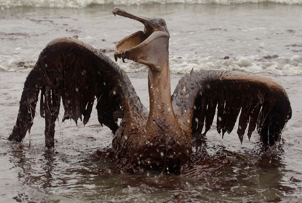 BP's Gulf Oil Disaster Bird Victim Coated in Oil
