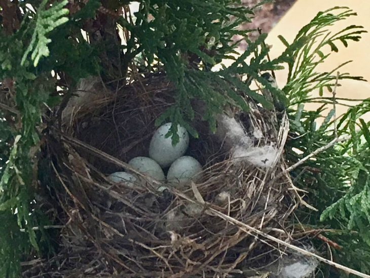 Bird nest with 4 tiny eggs