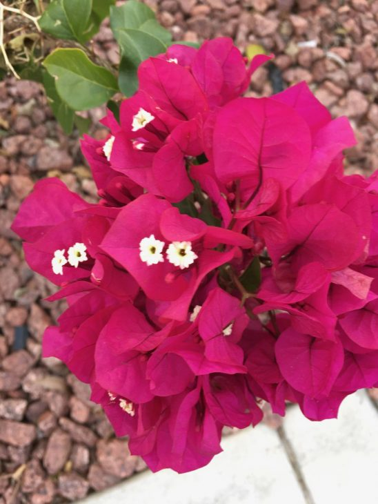 Palm Spings Bougainvillea