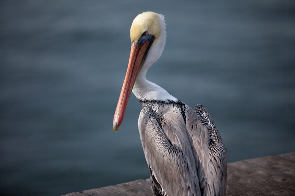Pelican on Pier in Santa Barbara