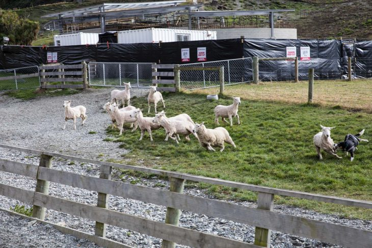 Walter Peak Sheep Farm