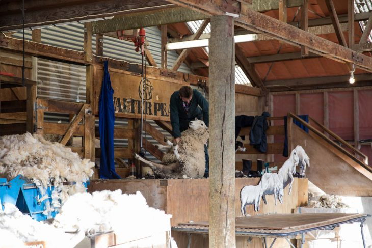 Shepherd sheering sheep at the Walter Peak Sheep Farm