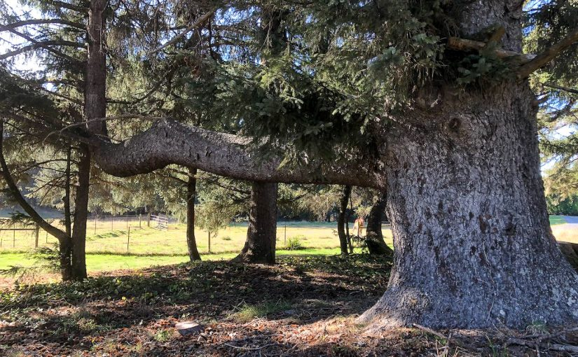 The Tree that Defies Gravity